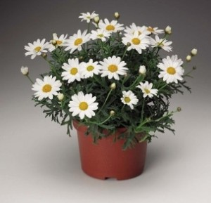 Argyranthemum_frutescens_Molimba_Mini_White__Argywhimi__P___Fleuroselect_Ornamental_Plant