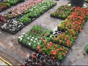 Begonia_in tray
